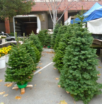 Christmas trees at Menlo Park Farmers Market