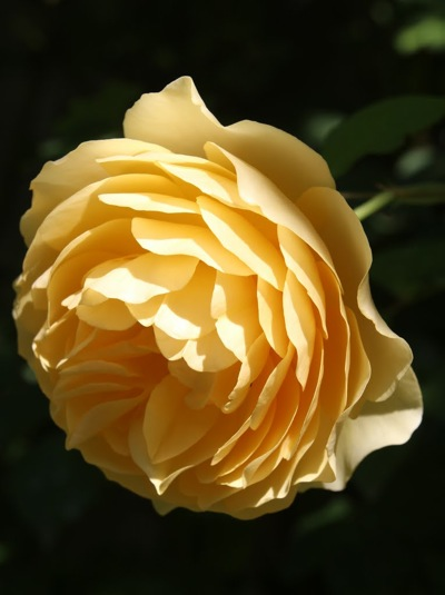 Golden Celebration, a David Austin rose