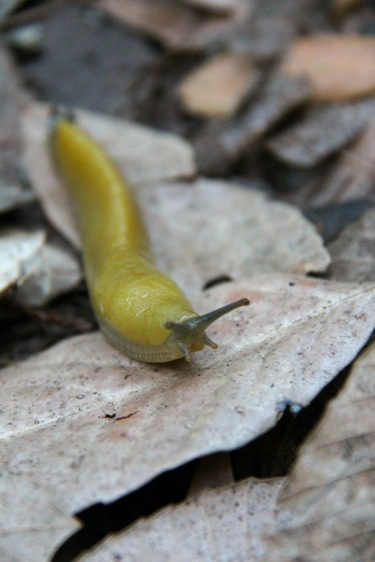 Banana slug spotted during Filoli Sunset Hike