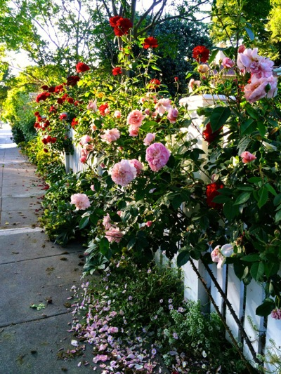 Johnson roses