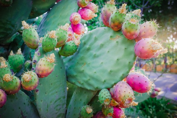 prickly pear cactus second