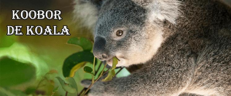 koobor de koala