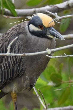 Yellow-crown Night Heron-6