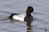 Lesser Scaup Male