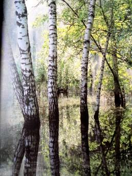 Birk trees