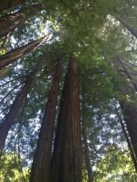 Ginormous redwoods.
