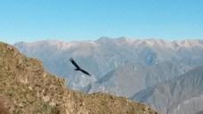 kondory w kanionie