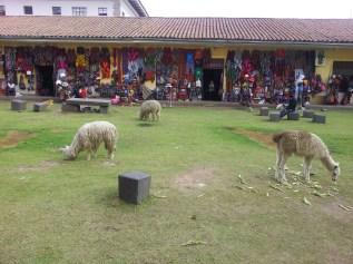 Lamy i alpaki - peruwiańskie kosiarki