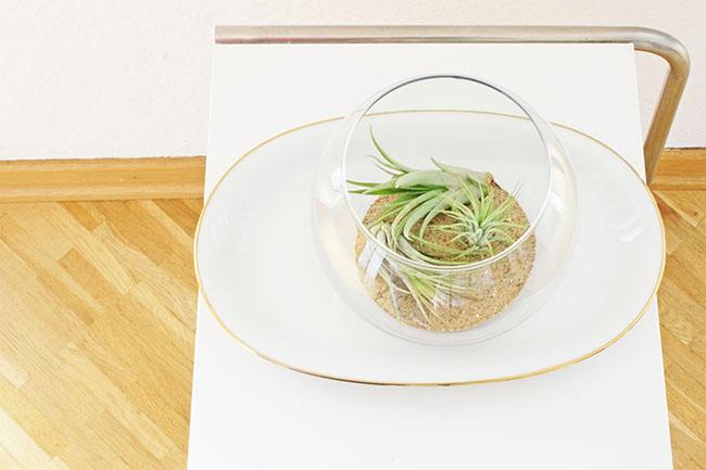 tillandsia connox urbanjunglebloggers plantsandglass