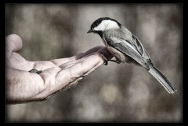 Chickadee landing on a human hand, symbolizing systemic constellation work on the topic of trust.