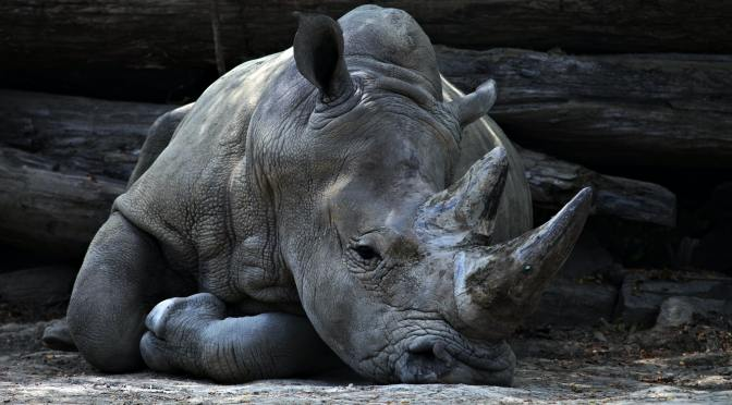 Bill the Rhino Leaves Seneca Park Zoo After Messy Break-Up With Moki the Elephant