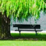 weeping willow & bench