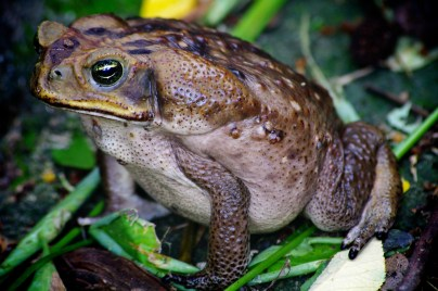 CANE TOAD: The cane toad is active at night. They hide in crevices, niches and depressions during the day, to avoid predators. They are ravenous predators themselves, with a reputation for eating anything that can fit in their mouth. Natural prey includes insects like ants, honeybees, lizards, frogs, worms and beetles.