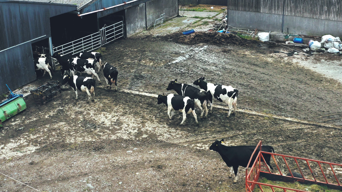 Farm in Craughwell: Dairy cows in the milking parlour yard