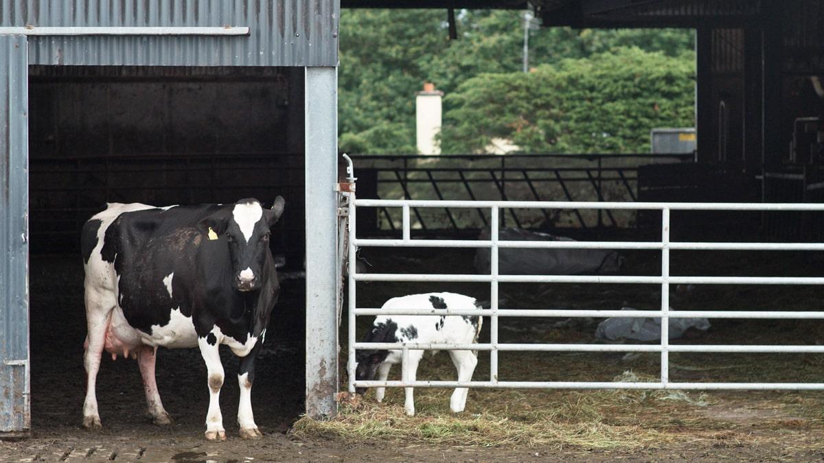 Farm in Craughwell: A dairy cow at the INNOQUA demo site