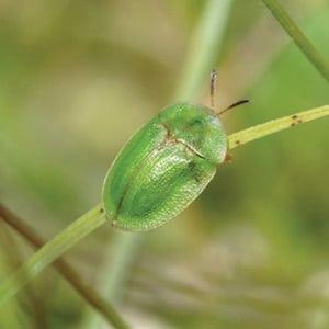 Thistle Boner Beetle