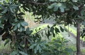 Close up of Macadamia Plant