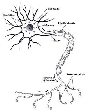Nerve axon with myelin sheath