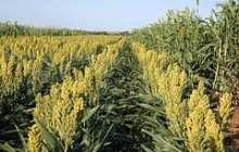 Verifying that sorghum is a new safe grain for people with celiac disease