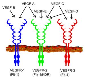 300px-VEGF_receptors