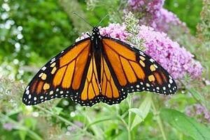 300px-Male_monarch_butterfly