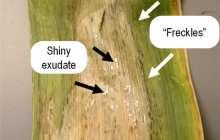 A Disease Cuts Corn Yields