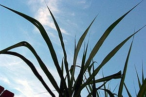 300px-Sugar_cane_leaves