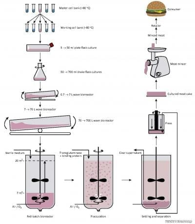 The left column shows the stepwise increase in cell-culture volume, starting with a vial from the working cell bank (note that a new working cell bank is made from a vial from the master cell bank). Exponentially growing cells from each step serve, after growing to a certain cell density, as the inoculum of the next culture vessel, which is an order of magnitude larger. The final bioreactor starts only partially filled and is fed with sterile medium at such a rate that the cells grow further under optimal conditions. When the bioreactor is full and the desired cell density is reached, the protein-crosslinking enzyme transglutaminase and binding protein are added to induce the formation of easily settling aggregates of cells, which quickly settle when stirring is stopped (bottom right). The harvested cells are pressed and the cake is extruded into retailer- and/or consumer-size portions of minced meat (right column). Credit: Trends in Biotechnology, van der Weele et al.