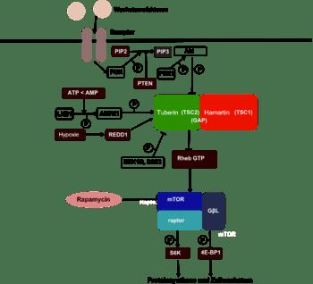 Scheme of mammalian target of rapamycin pathway_German translation (Photo credit: Wikipedia)