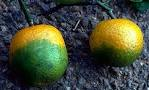 UF/IFAS researchers find chemicals that treat citrus greening in the lab