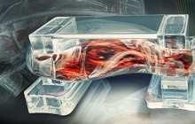 Muscle-powered bio-bots walk on command