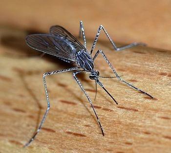 English: A female mosquito of the Culicidae family (Culiseta longiareolata). Size: about 10mm length Location: Lisbon region, Portugal Türkçe: Culiseta longiareolata türü di?i bir sivrisinek. (Photo credit: Wikipedia)