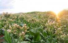 Boeing begins program to produce aviation biofuel from hybrid tobacco plants