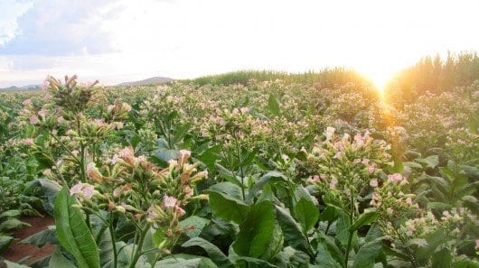 Boeing plans to harness South African farmers' knowledge of tobacco growing to produce sustainable biofuel
