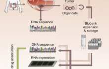 3-D'organoids' grown from patient tumors could personalize drug screening