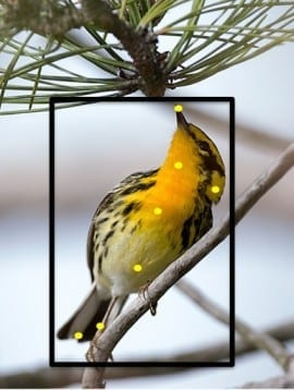 What is this bird? Merlin says Blackburnian Warbler!