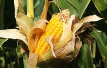 Agricultural suppliers: Controversial hybrids