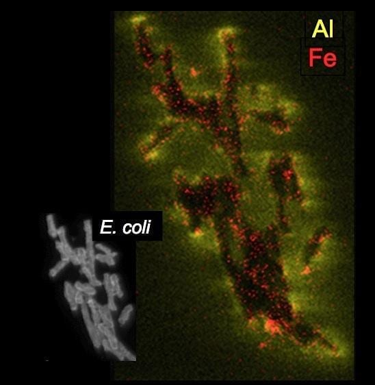 Working in tandem, chemically reduced iron (Fe2+) and aluminum (Al3+) in blue clays can kill pathogenic bacteria, such as these E. coli cells. Image by ASU