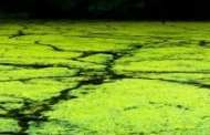 Harnessing Algae for the Creation of Clean Energy