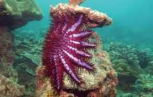 Using natural attraction to control the crown-of-thorns starfish population that is killing coral