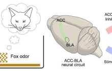 Instinctive fear responses can be encoded in our brain circuits?