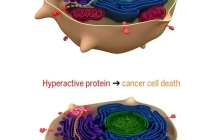 Synthetic proteins can kill cancer cells while sparing their healthy peers
