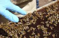 Could probiotics help save honey bee colonies from collapse?