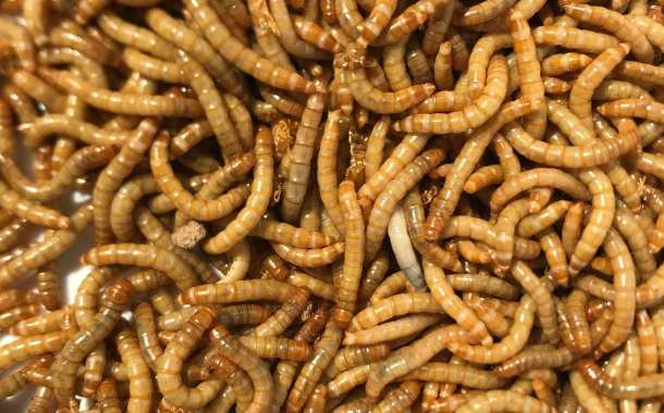 Could the yellow mealworm become a good sustainable global food source?