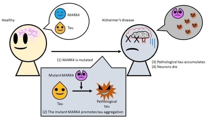 The mutant MARK4 creates a form of tau which accumulates easily in brain cells, causing neurons to die. CREDIT Tokyo Metropolitan University
