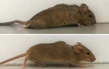 Using gene therapy to help paralyzed mice walk again