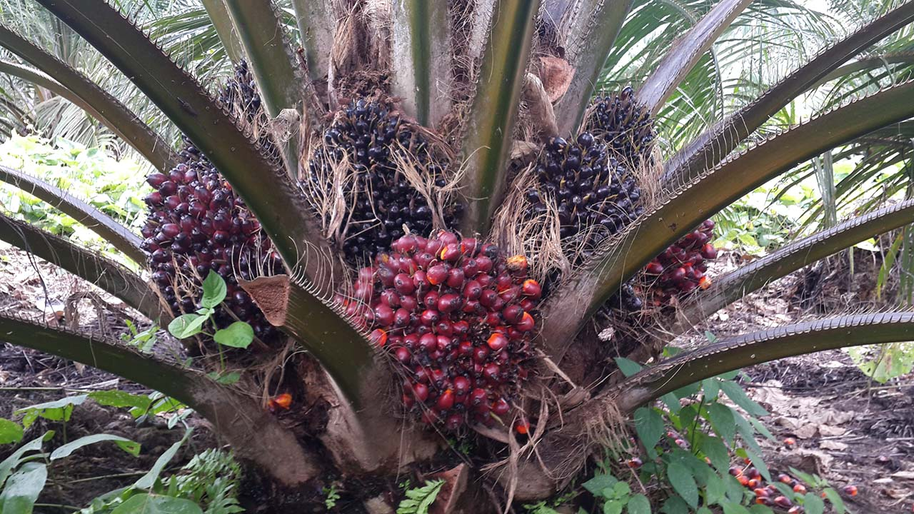 Courtesy photo | Hendra Sugianto Bunches in an oil palm plantation in Indonesia. It takes about 38 weeks from initiation until bunches are ready to be harvested.