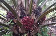 Is there a way for palm oil production to grow while protecting ecosystems?