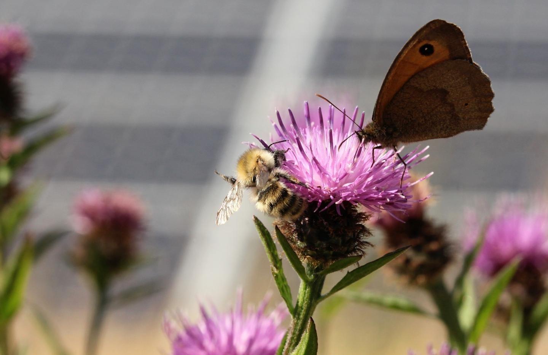 Pollinators in a solar farm. CREDIT: Solar Energy UK & Sarah Cheesbrough