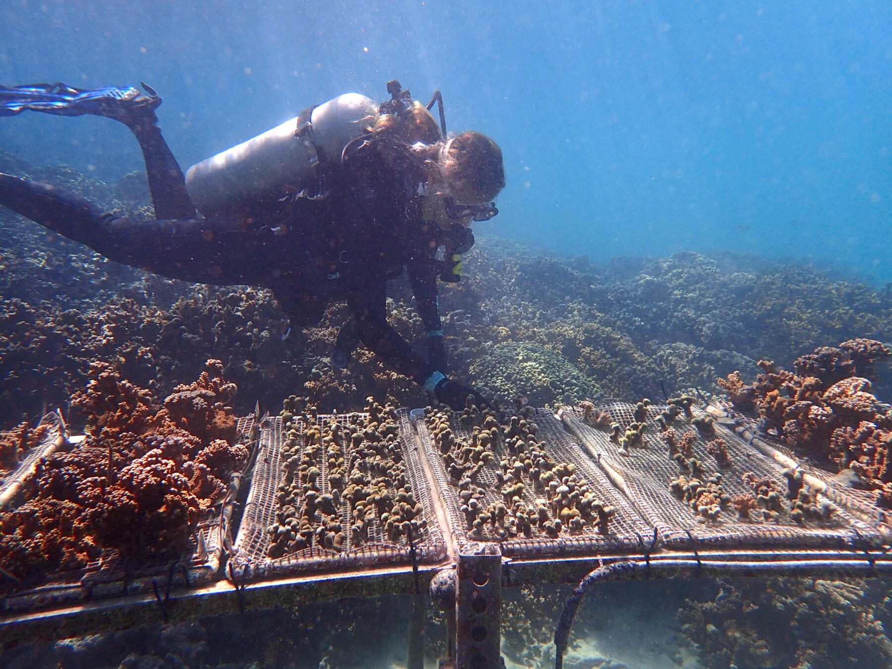 Penn biologist Katie Barott and colleagues found that corals maintain their ability to resist bleaching even when transplanted to a new reef. (Image: S. Matsuda)